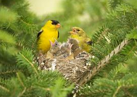 American goldfinch baby - photo#20